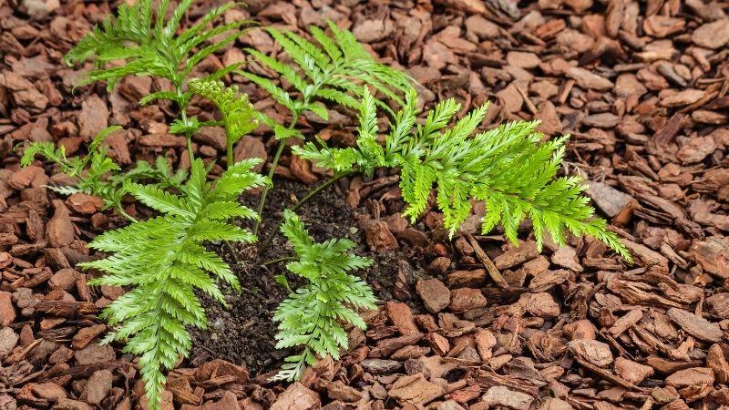 Mulch tussen planten